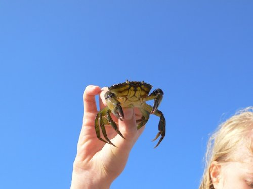 Eine Krabbe vom Strand