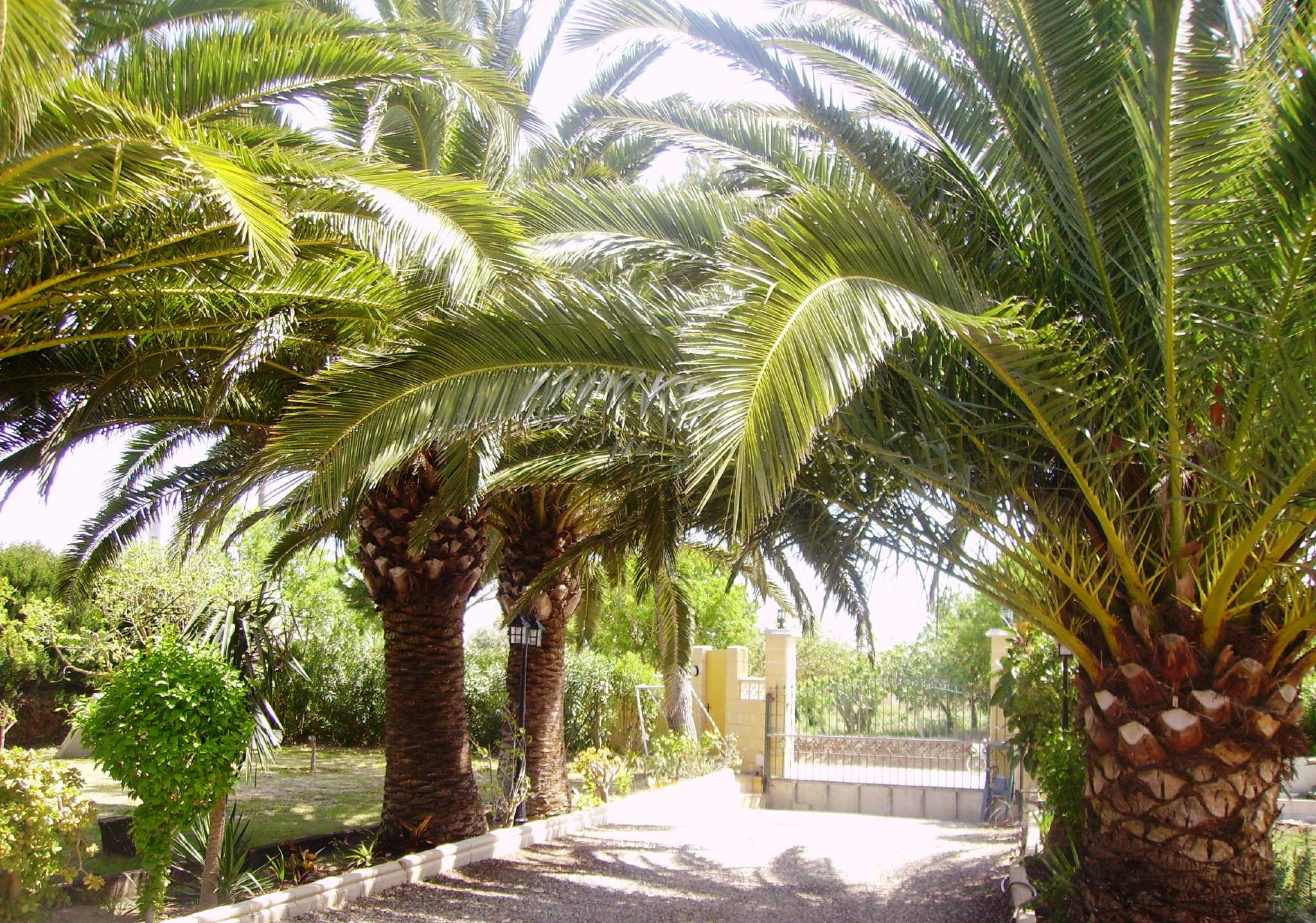Palmeneinfahrt