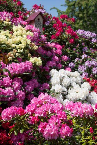 Rhododendronblüte im Vorgarten