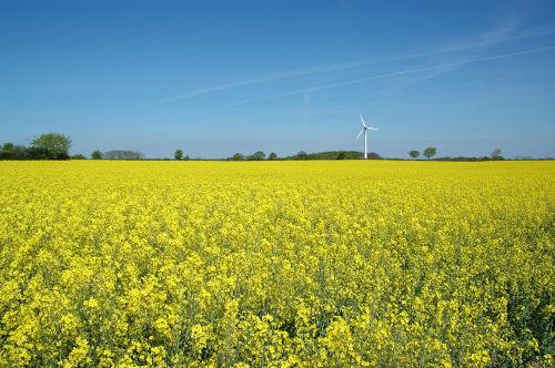Rapsfeld Oxbüll-Nord mit Windenergie