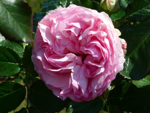 und Rosen.......