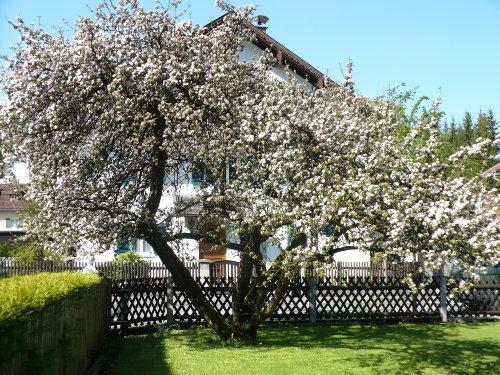 Garten zur Apfelblüte