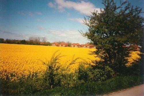 Petersdorf zur Rapsblüte im Mai / Juni