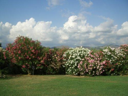 Einige der 50 Oleanderb�sche Poolwiese