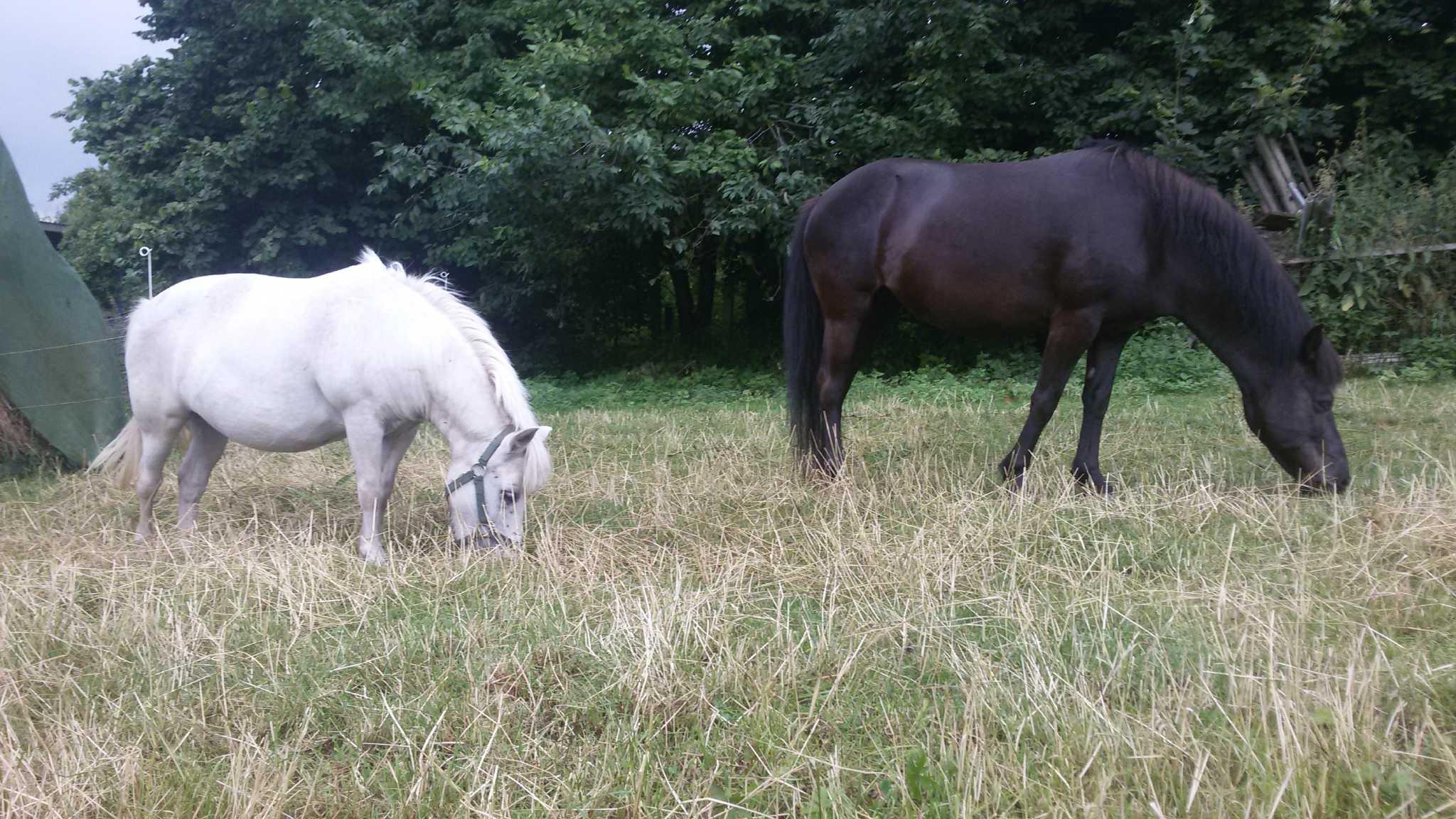 unsere Pferde Lukas, Gismo u. Lady