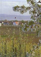 Apfelblüte vor Kressbronn