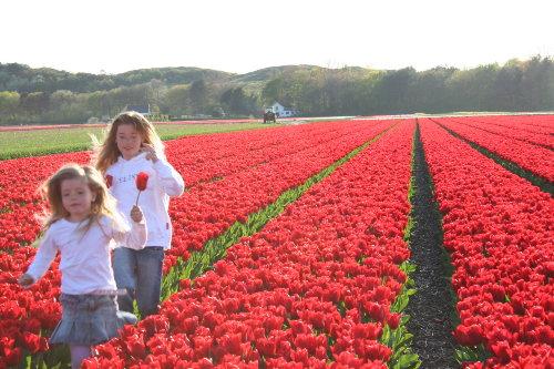 Tulpen im Egmond April - Mai
