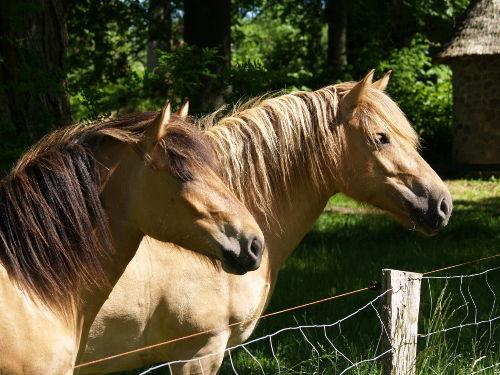 Unsere Norweger Pferde