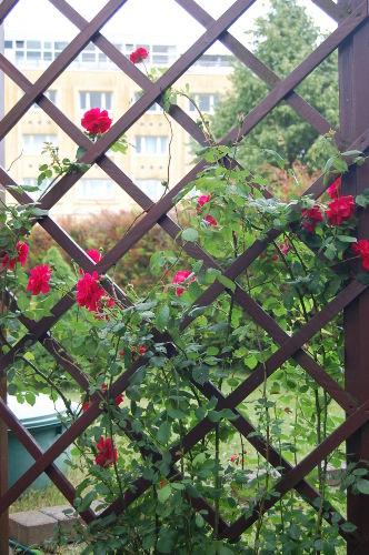 Rosenspalier