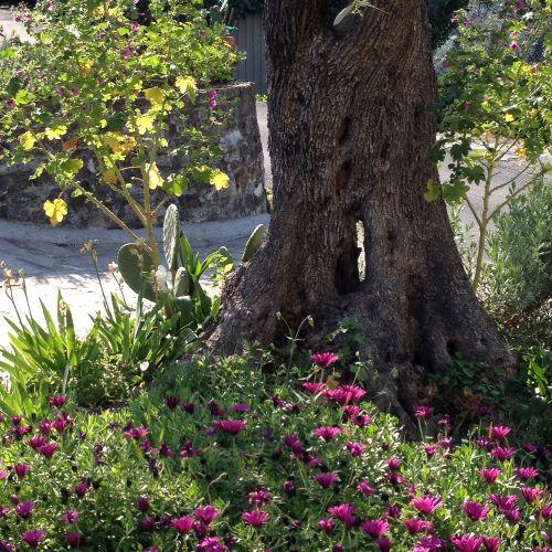 Der Hausbaum, eine knorrige Olive
