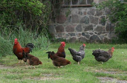 Freilaufende Hühner auf dem Hof