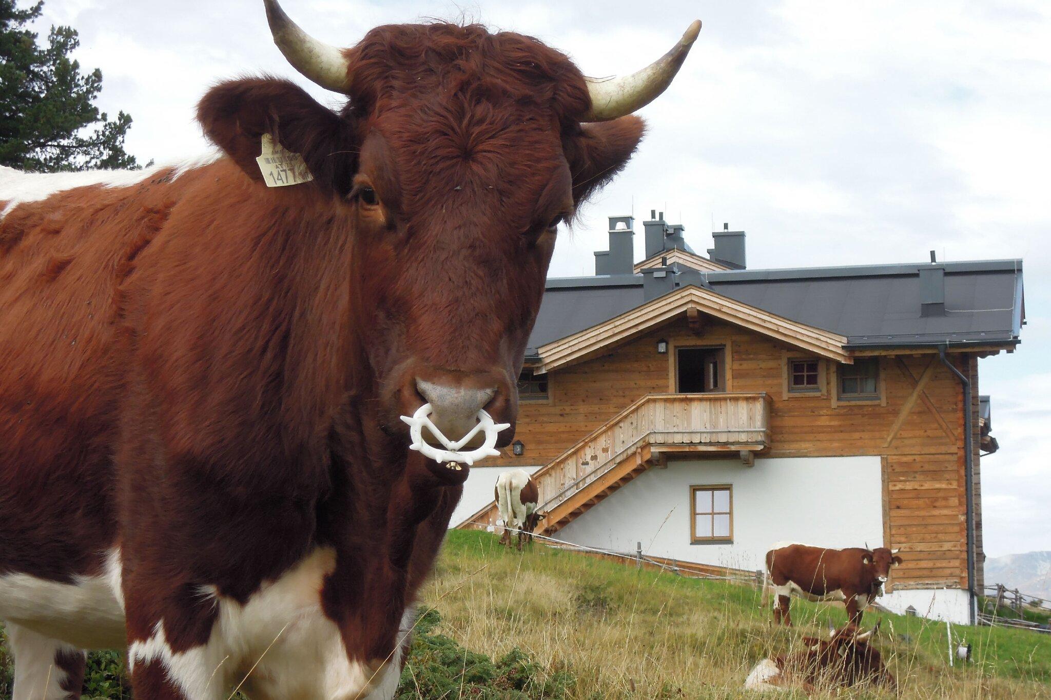 weidende Kühe vor der Skihütte