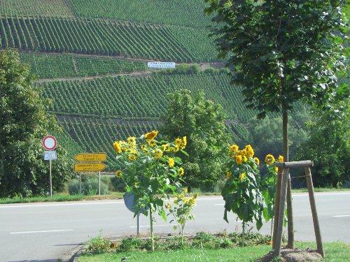 Blick auf die Weinlage Köw Laurentiuslay