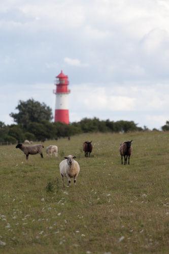 Am Deich stehen im Sommer unsere Schafe
