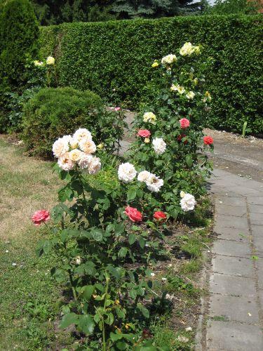 viele Rosen verziehren den Garten