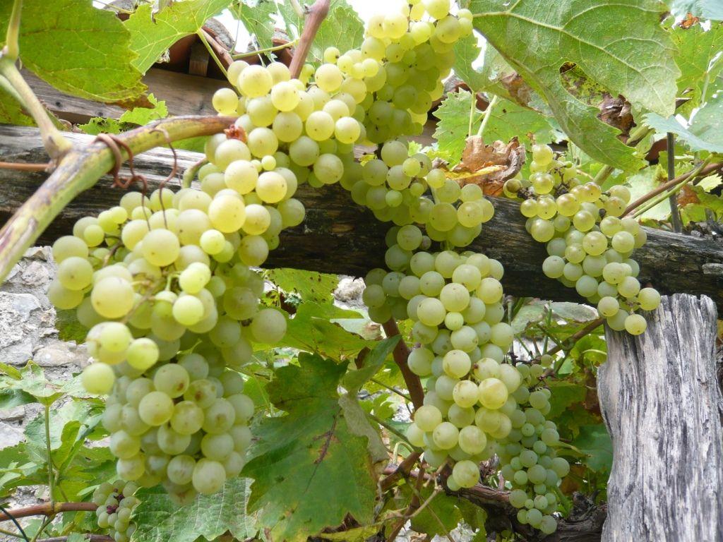 Weintrauben in der Gartenlaube
