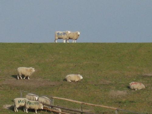 Schafe am Deich gegen�ber