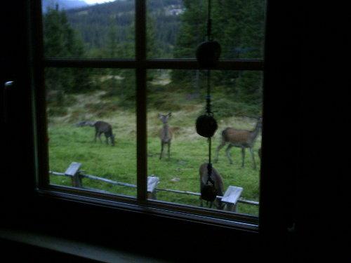 Hirsche im Herbst vor dem Fenster