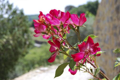 Rose auf der Terasse