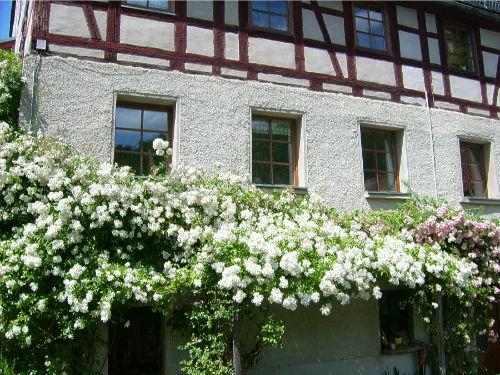 Duft(er) - Urlaub: Rosenblüte Juni/Juli