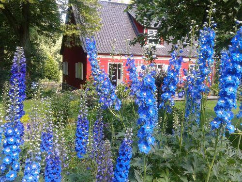 Blau und Rot - unser Rittersporn
