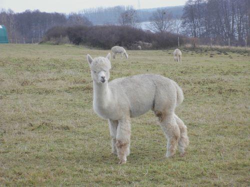 Alpakas im Winterfell