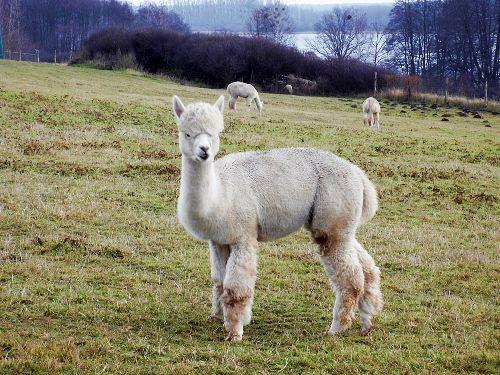 Alpakas am winterlichen Woblitzsee