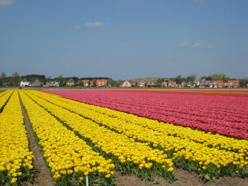 Tulpenfelden Egmond