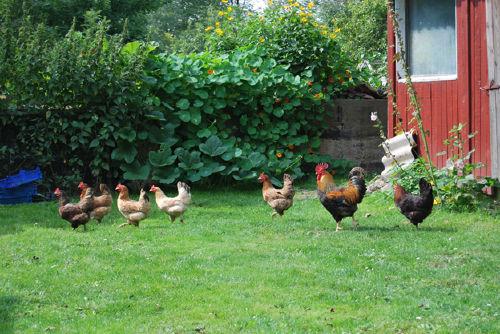 Unsere Hühnerschar