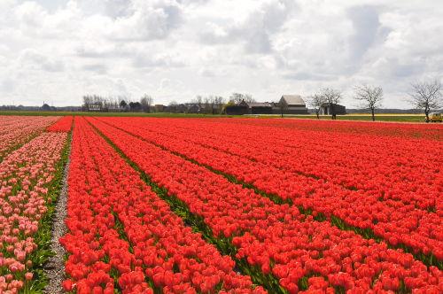 Tulpenfelder bei Callantsoog