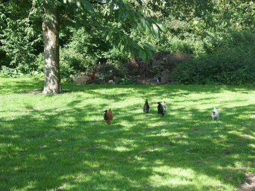 unsere freilaufenden Hühner