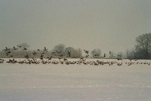 Winterg�ste in der Elbtalaue
