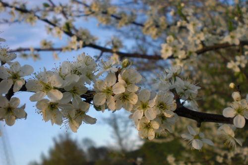 Frühling an der Maade - Schlehenblüte