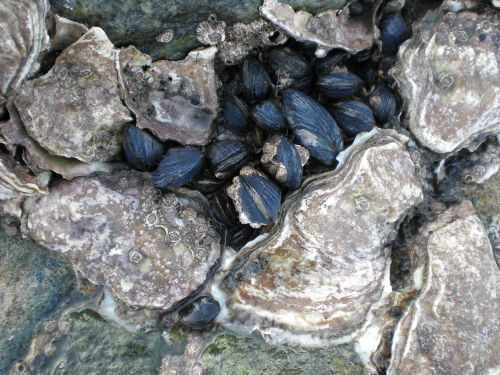 Muscheln und Austern am Jadebusen