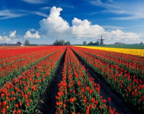 Typische Tulpenfelder in Noordholland