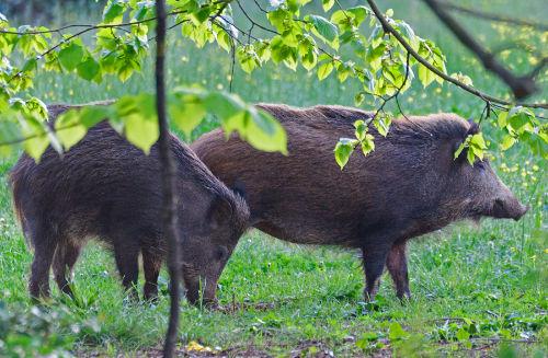 Unsere Wildschweine