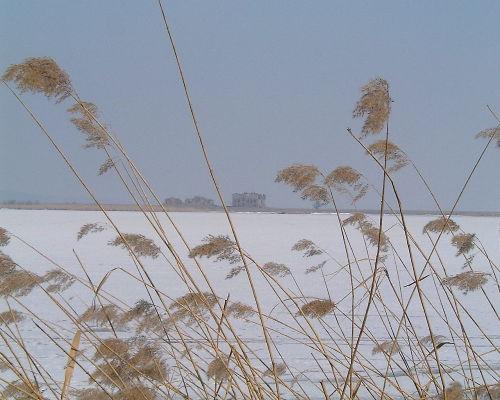 Schilf im Winter