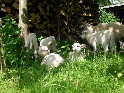 Mittagsruhe bei den Schafen