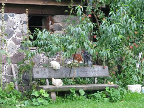 Mittagspause bei den halbstarken Hühnern