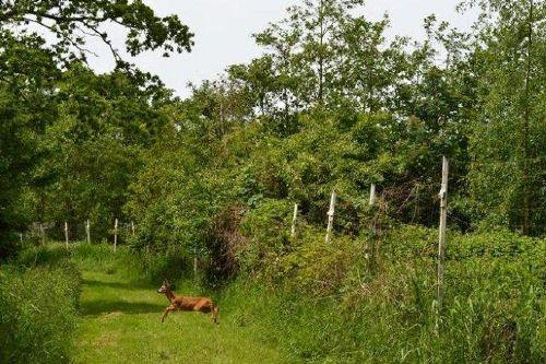 Hirsch im Wald Oostkapelle
