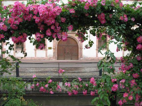 Rosenwochen mit Programm
