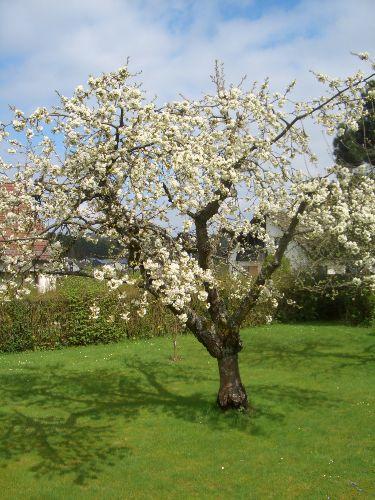 Kirschblütenzeit im Garten
