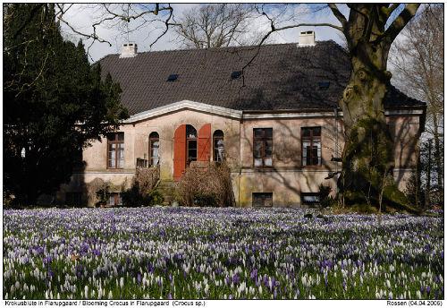 Krokusblüte auf Flarupgaard im Frühjahr
