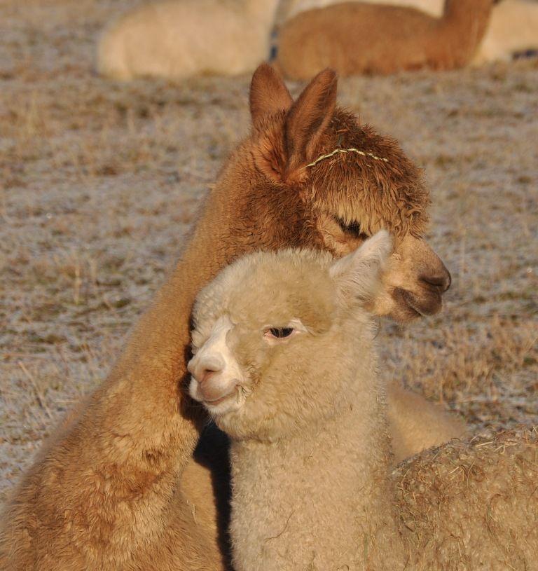 Alpakas lieben die Sommerdusche