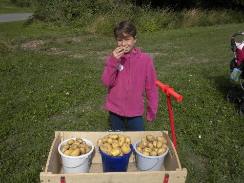 Paulines Kartoffelernte