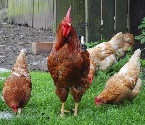Unser Hahn mit seinen Hennen