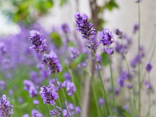 Lavendelblüte im großen Garten