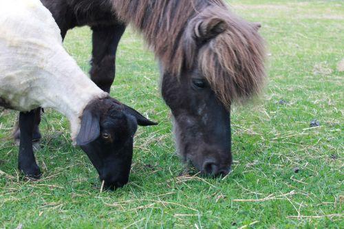 Pony Zorro auf der Schafweide am Haus