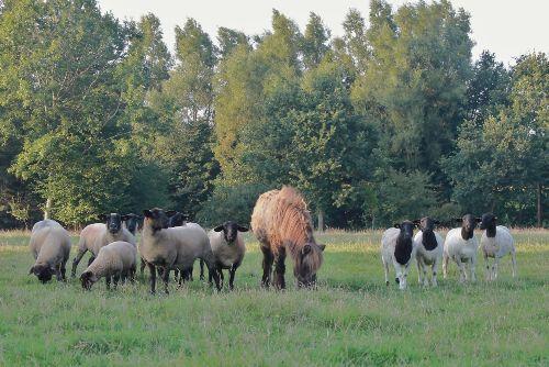 die Schafherde nebst unserem Pony Zorro