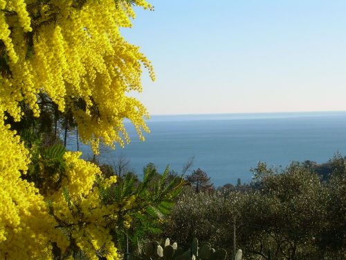 the mimosa in January